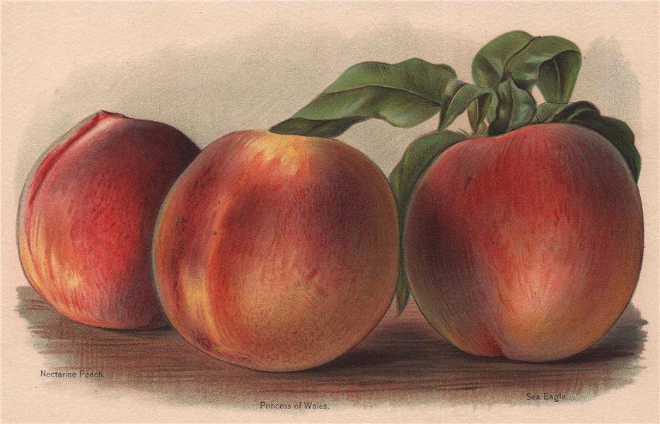 Associate Product PEACHES. Nectarine Peach; Princess of Wales; Sea Eagle. WRIGHT Chromolitho 1892