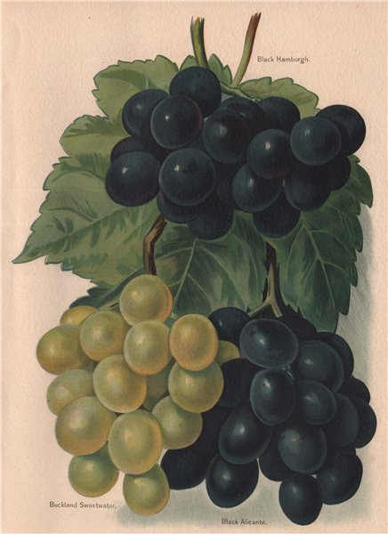 Associate Product GRAPES. Black Hamburgh; Buckland Sweetwater; Black Alicante. WRIGHT 1892 print