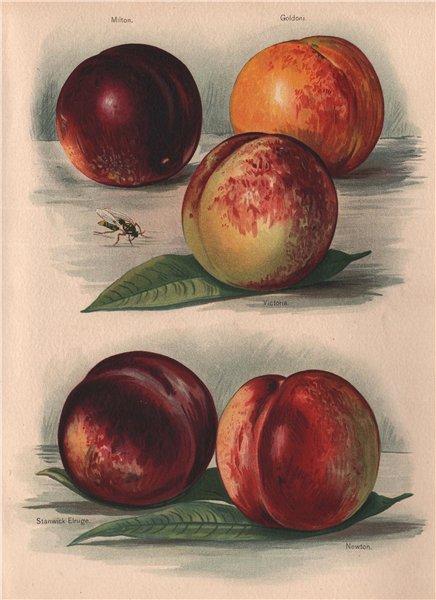Associate Product PEACHES. Milton; Goldoni; Stanwick Elruge; Newton. WRIGHT Chromolithograph 1892