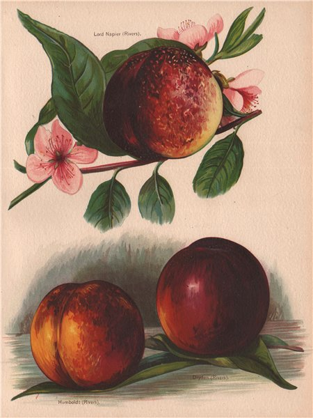 Associate Product NECTARINES. Lord Napier; Humboldt; Dryden . WRIGHT Chromolithograph 1892 print