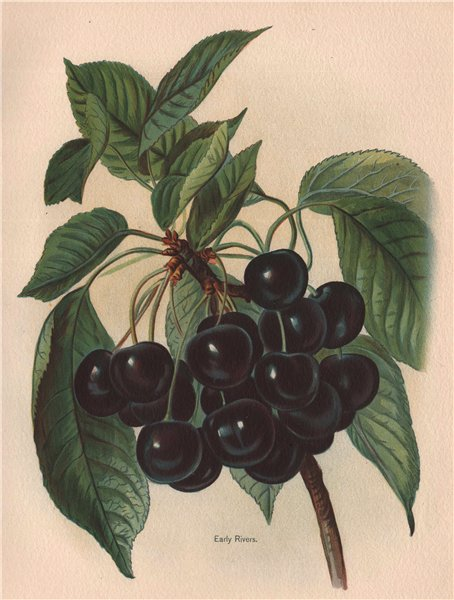Associate Product CHERRIES. Early Rivers. WRIGHT Chromolithograph 1892 old antique print picture