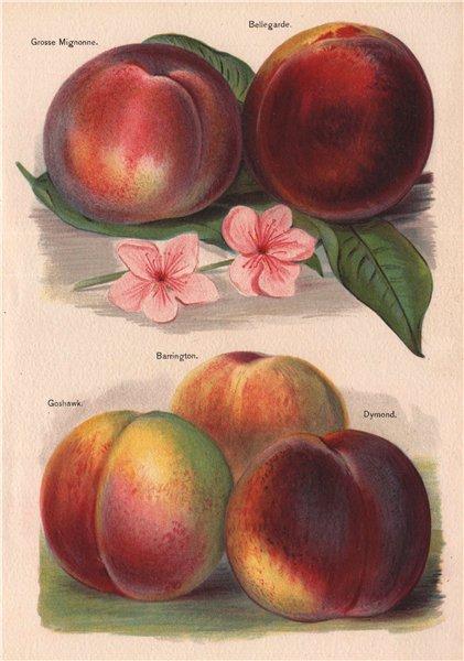 Associate Product PEACHES. Grosse Mignonne; Bellegarde; Barrington; Goshawk; Dymond. WRIGHT 1892