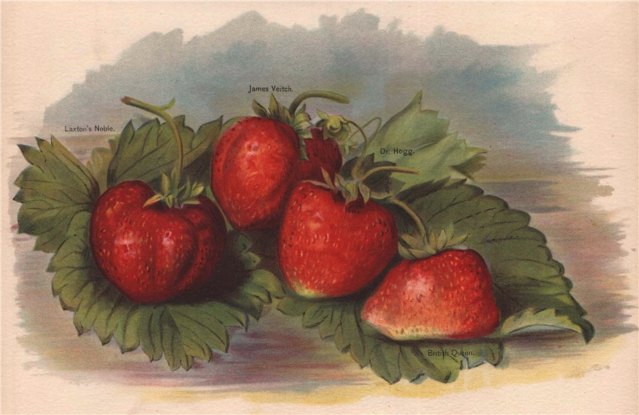 Associate Product STRAWBERRIES. Laxton's Noble; James Veitch; Dr. Hogg; British Queen. WRIGHT 1892