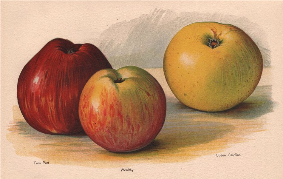 Associate Product APPLES. Tom Putt; Wealthy; Queen Caroline. WRIGHT Chromolithograph 1892 print