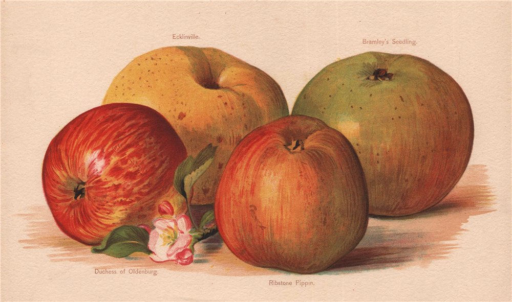 Associate Product APPLES. Ecklinville Bramley's Seedling Cuchess of Oldenburg Ribstone Pippin 1892