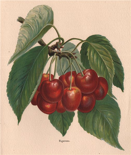Associate Product CHERRIES. Bigarreau. WRIGHT Chromolithograph 1892 old antique print picture