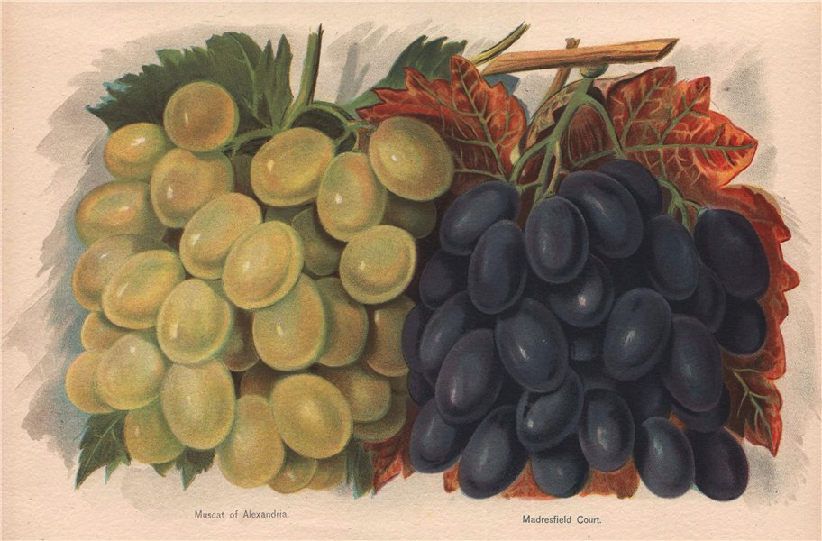 Associate Product GRAPES. Muscat of Alexandria; Madresfield Court. WRIGHT Chromolithograph 1892