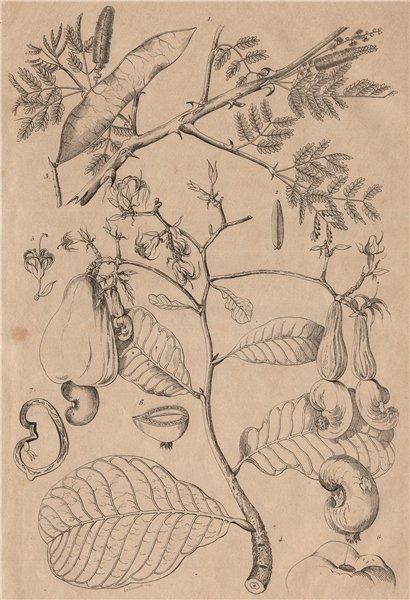Associate Product PLANTS. Acacie (Acacia). Gum Arabic. Noix d'Acajou (Cashew nuts) 1834 print