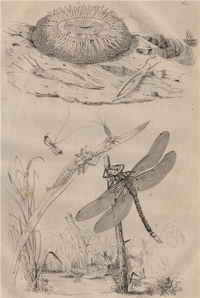 Associate Product Acteon sea snail. Sea anemone. Longhorn moth. Hawker or darner dragonfly 1834
