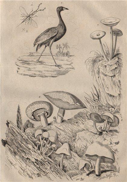 Agami (Pale-winged Trumpeter). Fungi. Agaric. Agaonidae (Fig wasp) 1834 print