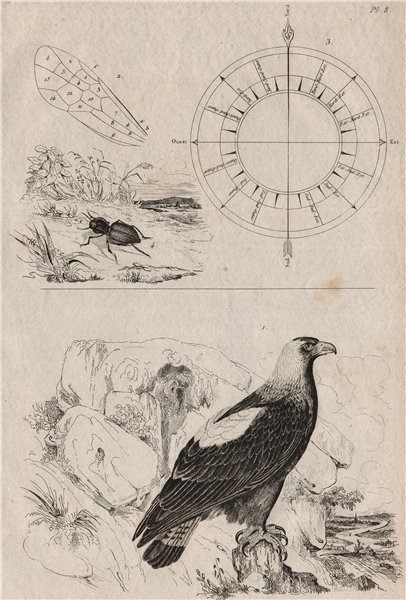 Associate Product Eastern Imperial Eagle. Wind direction compass. Abacetus lucifugus 1834 print