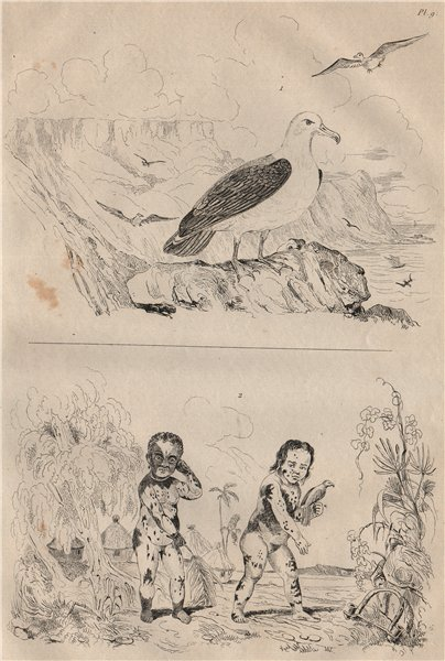 Associate Product Albatros (Albatross). Albinos. Skin pigmentation 1834 old antique print