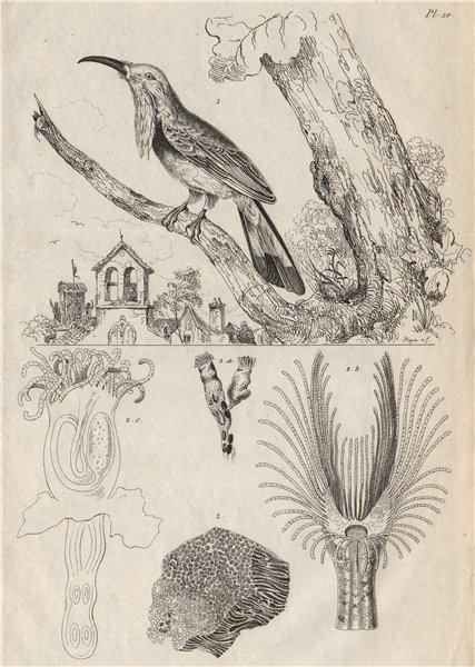 Associate Product Alcemerope (Red-bearded Bee-eater). Alcyonella 1834 old antique print picture