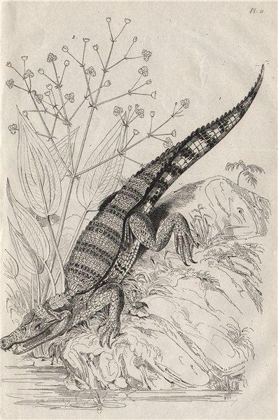 Associate Product Alligator. Alisma plantago-aquatica (common water-plantain/mad dog weed) 1834