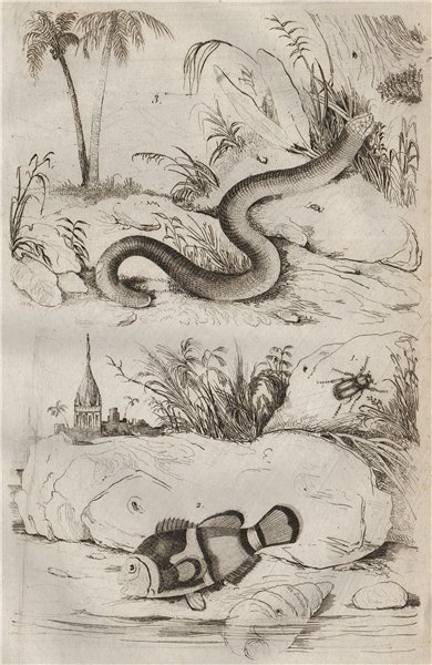 Associate Product Amphicoma beetle. Amphiprion (clownfish). Amphisbaenia 1834 old antique print
