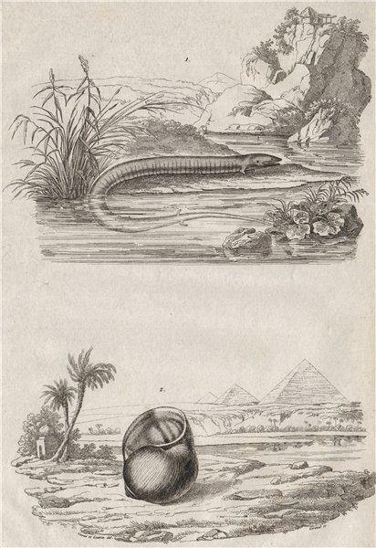 Associate Product ANIMALS. Amphiuma (Aquatic Salamander). Ampullariidae (Pomacea snail) 1834