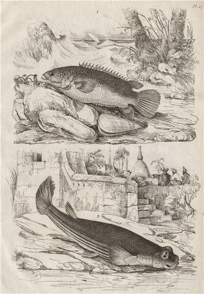 Associate Product FISH. Anabas (Climbing Perch). Anableps (Four-eyed Fish) 1834 old print
