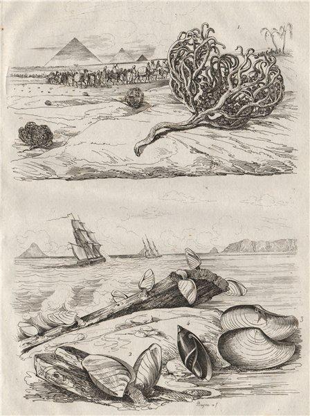 Associate Product Rose Jericho tumbleweed. Goose barnacles. Anatina clam. Olive snail 1834 print