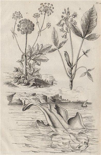 Associate Product Angel Shark. Angelique (Garden Angelica). Angusture (Angostura) 1834 old print