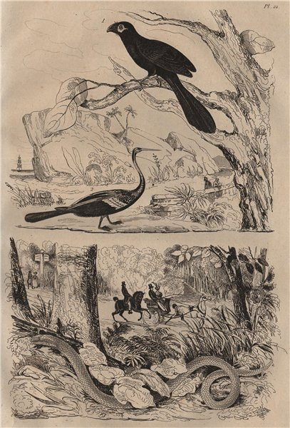 Associate Product ANIMALS. Anhinga (Snakebird). Anguis (Slow worm) 1834 old antique print