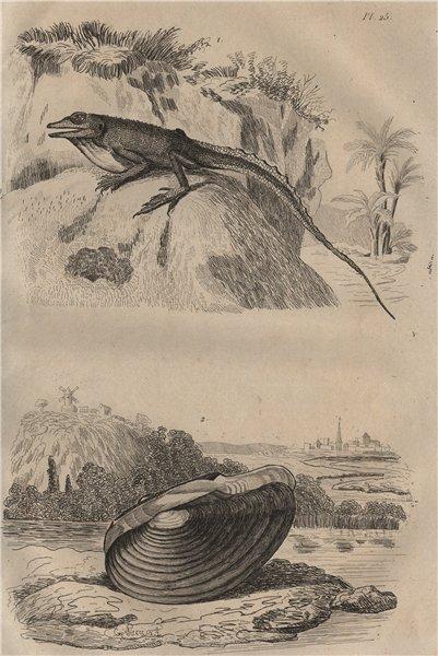 Associate Product Anolis lizard. Anodonta mussel 1834 old antique vintage print picture
