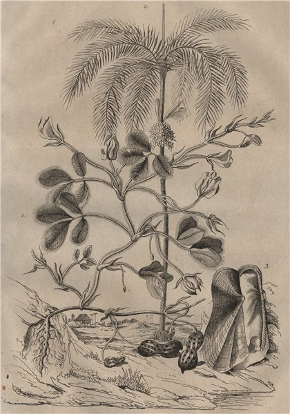 Associate Product Arachide (Peanut plant). Arec (areca). Arche (Ark) /Ark clam 1834 old print