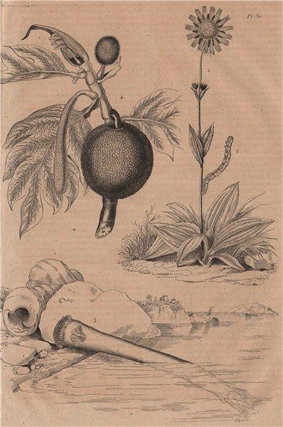 Associate Product Arnica. Arpenteuse (Inchworm). Arrosoir. Artocarpus (Breadfruit) 1834 print