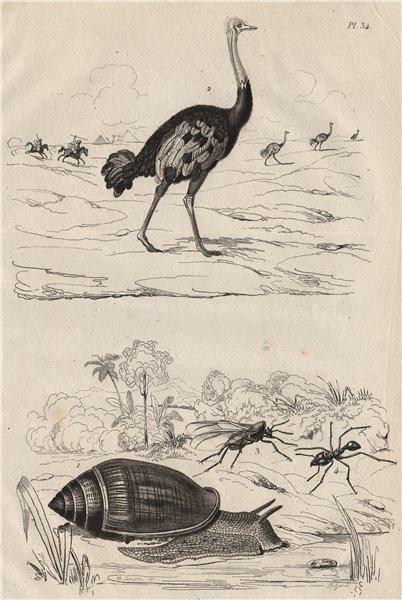 Associate Product Ellobium aurismidae (Midas Ear Shell). Ostrich. Atta (new world ant) 1834
