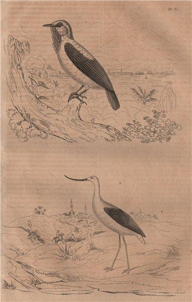 Associate Product BIRDS. Averano (Bearded Bellbird). Avocette (Avocet) 1834 old antique print