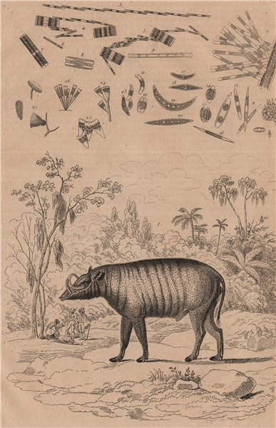Associate Product Babiroussa (Babirusa). Algae. Diatoms. Desmidiales 1834 old antique print