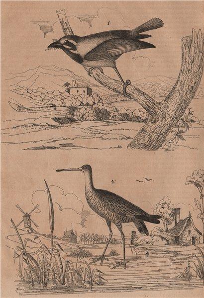 Associate Product BIRDS. Barbu (Berbet/Barbet). Barge (Black-tailed Godwit) 1834 old print