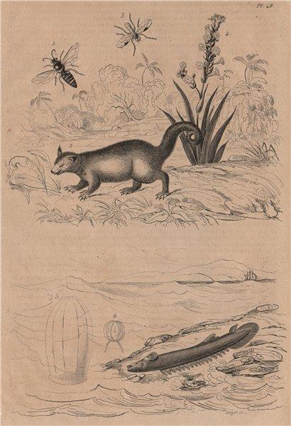 Associate Product Sand wasp. Binturong. Soldierfly. Stout blue-eyed grass. Beroid. Bichir 1834