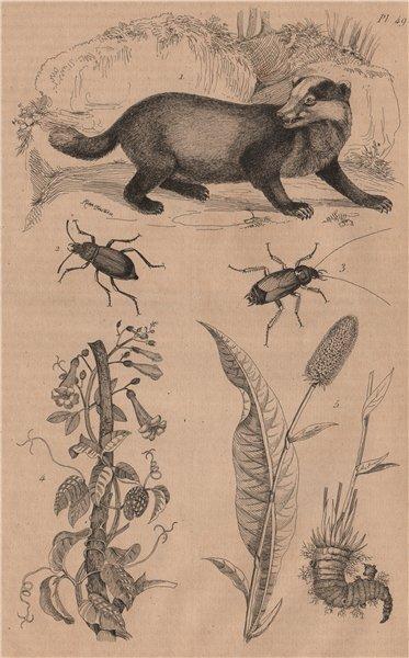Associate Product Badger. Blaps mucronata (Churchyard beetle). Roach. Bignonia. Bistort 1834