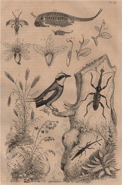 Associate Product Anostraca.Brayere.Brentidae weevil.Banded Pitta.Briza.Bromus interruptus 1834