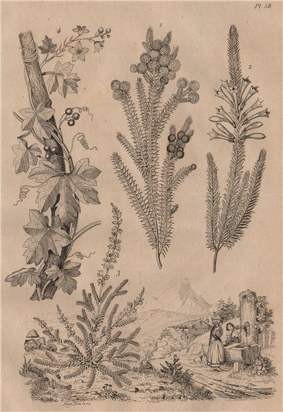 Associate Product PLANTS. Brunie. Bruyeres (Heather). Bryonia (Bryony) 1834 old antique print