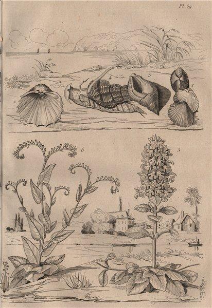 Associate Product Bucardes (cockles). Buccins (whelks). Bugle (Ajuga). Buglosse (Alkanet) 1834