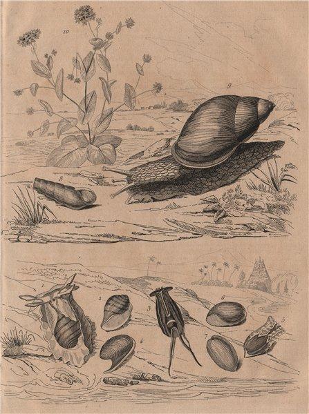 Associate Product Bulle molluscs. Rumina decollata (decollate snail). Bupleurum 1834 old print