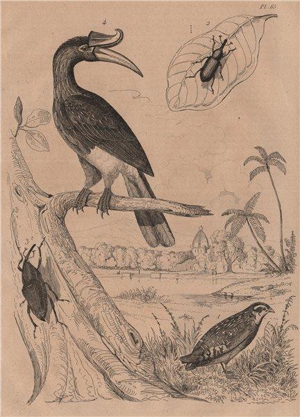 Associate Product Caille (Quail). Calandre (Wheat Weevil). Calao (Rhinoceros Hornhill) 1834