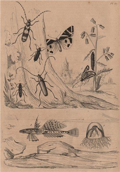 Associate Product Callichroma & Callidium beetles. Callimorpha moths. Sculpin fish. Calliroé 1834