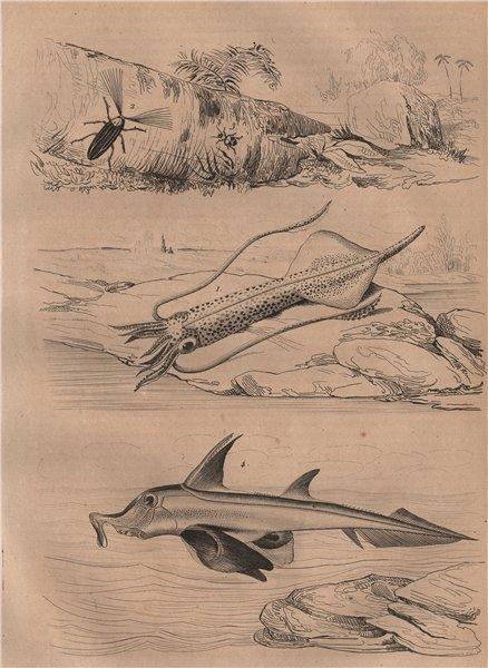 Associate Product Squid. Callirhipidae. Callistus lunatus ground beetle. Plough-nose chimaera 1834