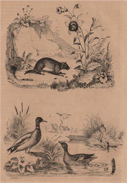 Associate Product RODENTS. Campagnol (Vole). Campanule (Bellflower). Canard (Duck) 1834 print