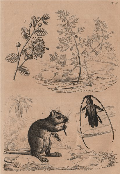 Associate Product Capraria.Cerambyx/Capricorn beetle.Capparis spinosa/caper.Desmarest hutia 1834