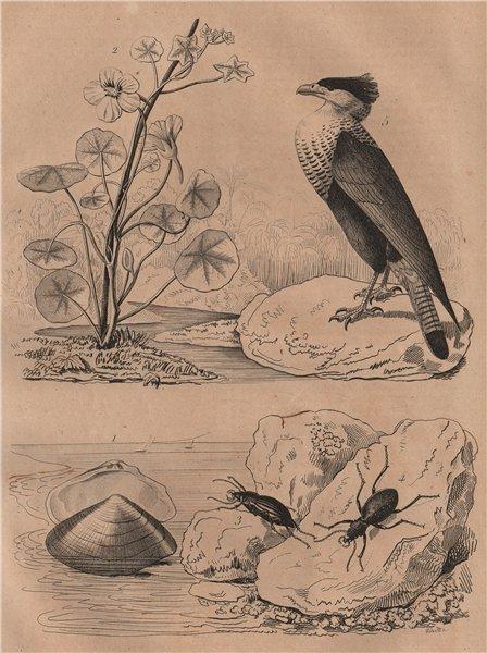 Associate Product Capsa (Asaphis deflorata). Nasturtium. Carabidae (groud beetles). Caracara 1834