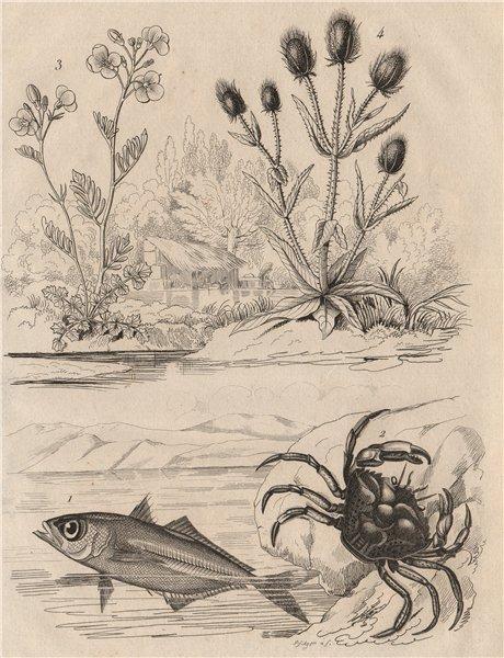 Associate Product Kingfish.Shore crab.Cardamine/cuckooflower.Dipsacus fullonum/Wild teasel 1834