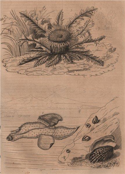 Associate Product Carditis.Carinaria/Floating sea snail. Carline Thistle Carlina acanthifolia 1834