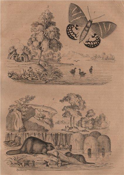 Associate Product Castniid moth. Castors (Beavers). Casuarina trees 1834 old antique print