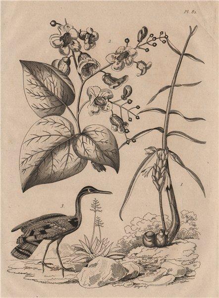 Associate Product Cassumunar ginger. Catalpa plant. Caurale (Sunbittern) 1834 old antique print
