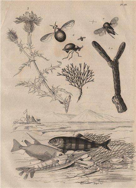 Associate Product Celyphidae/beetle flies.Centaurea.Shrimpfish.Centrotus cornutus/treehoppers 1834