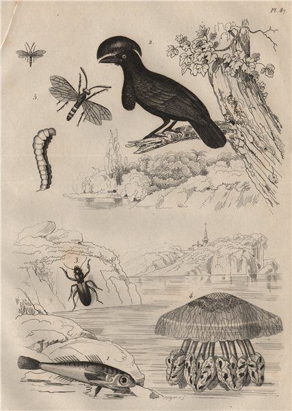 Associate Product Gurnard. Umbrellabird. Broscus cephalotes. Cepheus jellyfish. Cephus 1834