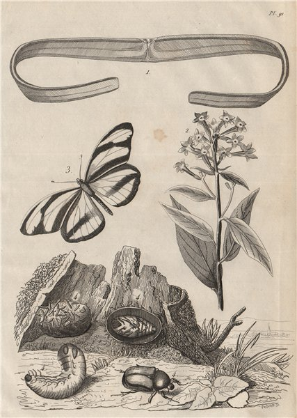 Cestoda/flatworm.Cestrum/Jessamine.Cethosia/Lacewing butterfly.Rose chafer 1834